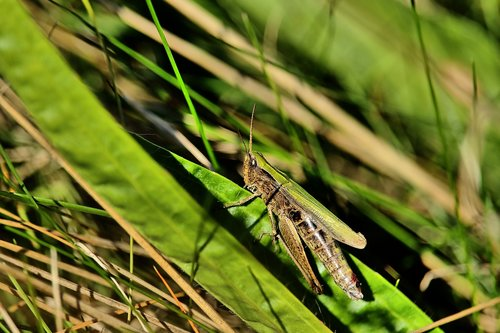 grasshopper  field grasshopper  insect