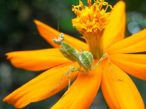 grasshopper mantis flowers