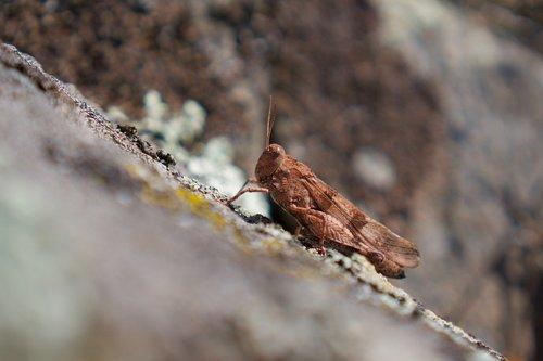 grasshopper  oedipoda caerulescens  wasteland of terror
