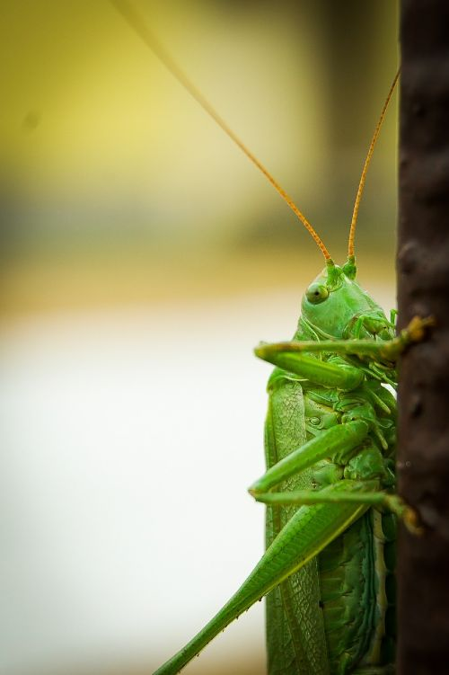 grasshopper insect cricket