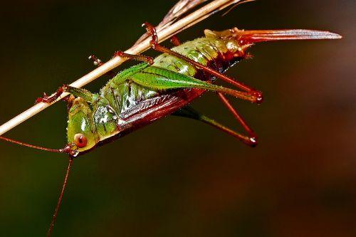 grasshopper insect macro