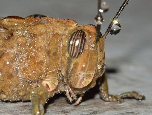 grasshopper orthoptera locust