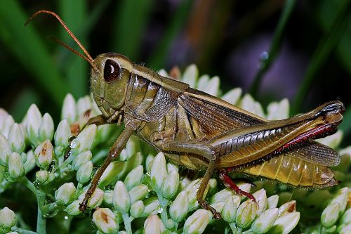 grasshopper macro arthropod