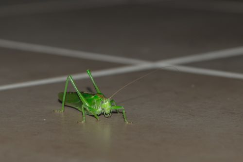 grasshopper animal insect
