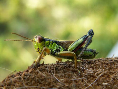 grasshopper alpine gebirgsschrecke miramella alpina
