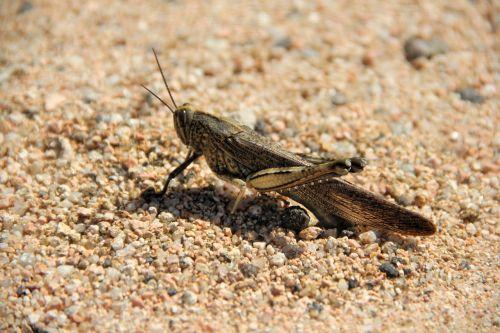 žiogas, smėlis, vabzdys, makro, gyvūnų pasaulis, Uždaryti, vabzdžių makro