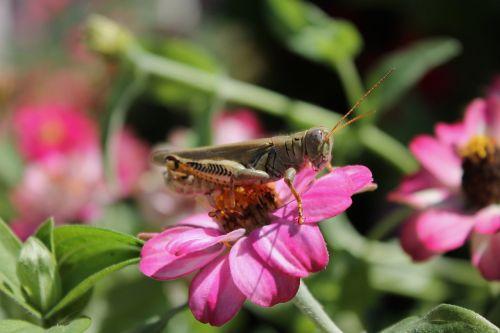 grasshopper flower nature