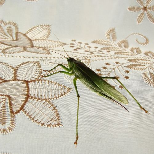 grasshoppers green insect
