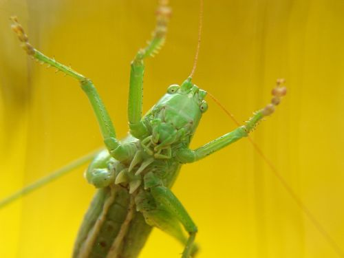 grasshoppers yellow insect