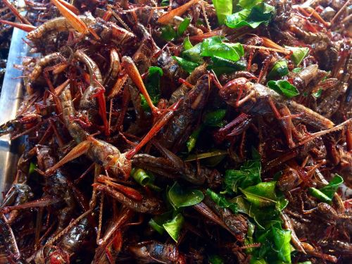 grasshoppers insect thailand