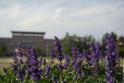 grassland lavender campus