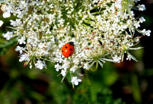 grassland plants ladybug plant