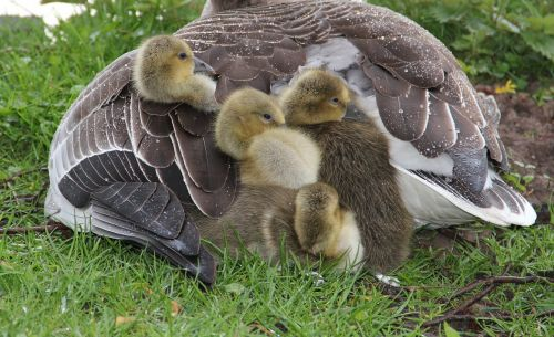 graugans chick in plumage mother protection against rain fluffy
