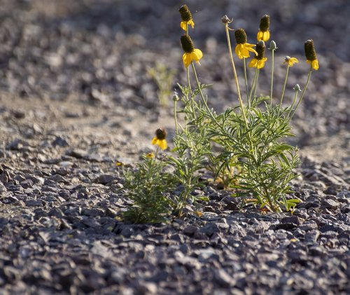 gravel  yellow flower  desert flower