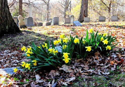 Graveyard Daffodils
