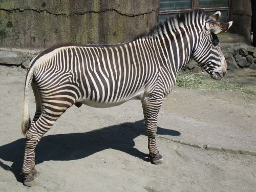 gravy zebra male zebra mammal