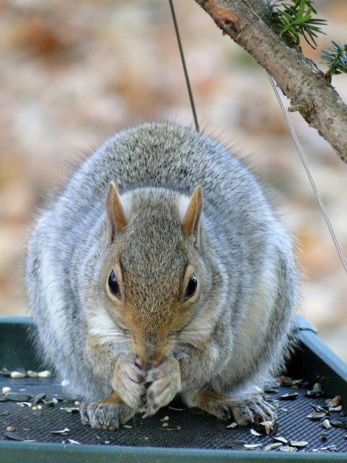 gray squirrel animals