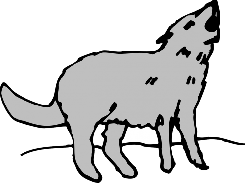 gray animal coyote