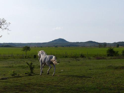 gray horse gallop