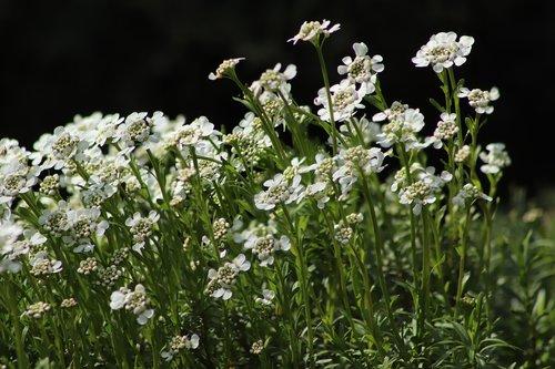 gray cress  cruciferous plant  flowers