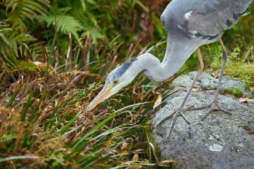 gray heron hunt waterside