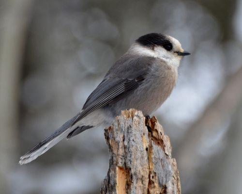 gray jay bird jay