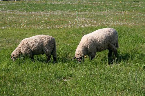 grazing sheep sheep flock