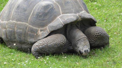 grazing tortoise  tortoise  celonoidis nigra porteri