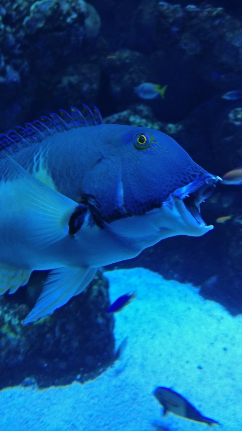 great barrier reef  fish  open mouth