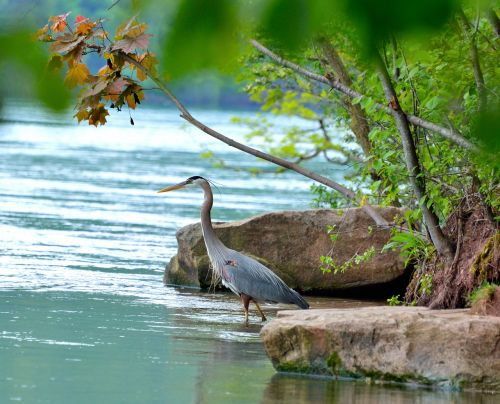 great blue heron niagara river wading bird