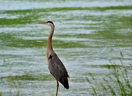 great blue heron wading bird water