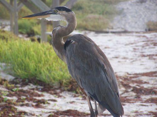 great blue heron bird padre island