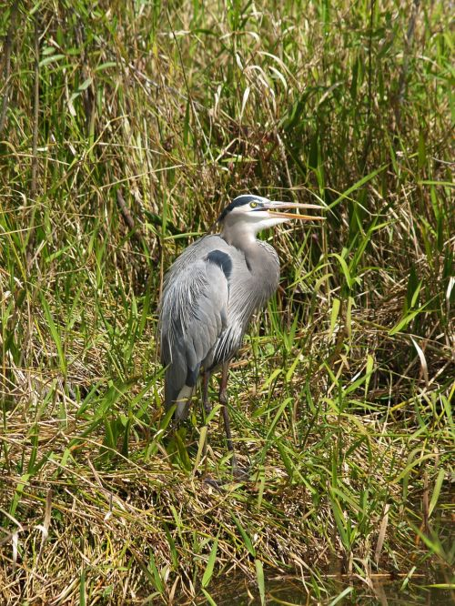 juvenile great blue heron bird wildlife