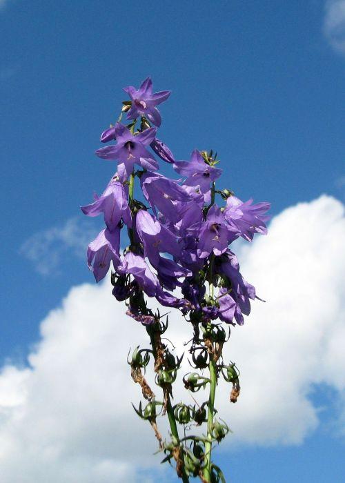 great blue lobelia lobelia siphilitica moneymore