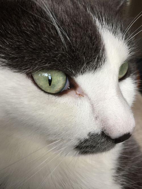 great cat green eyes cute