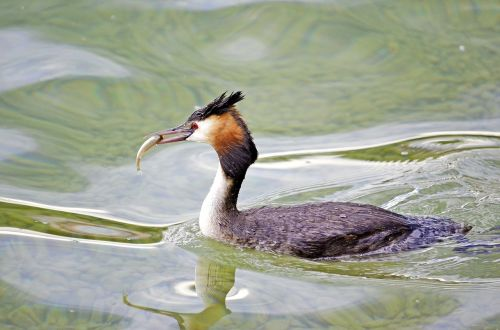great crested grebe fish lake