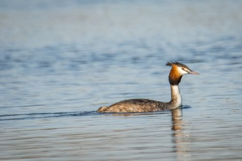great crested grebe grebe bird