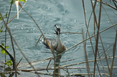 great crested grebe waterfowl nest building