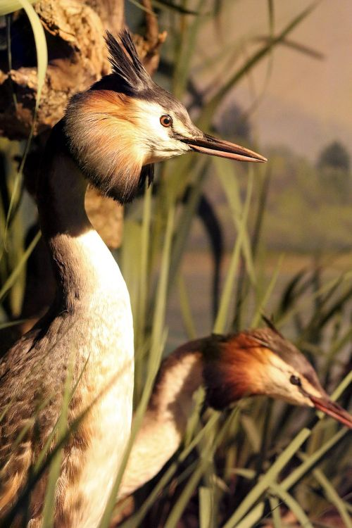 great crested grebe water bird bill