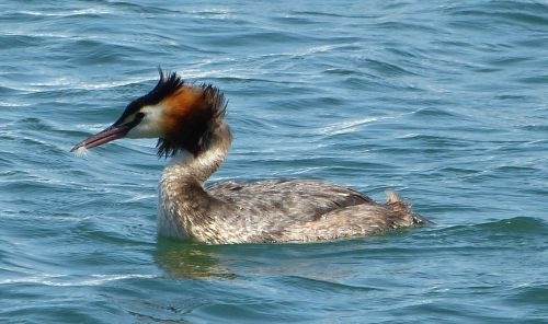 great crested grebe water bird grebe