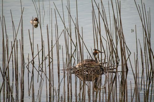 great crested grebe nest water bird