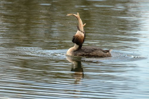 great crested grebe  fishing  water