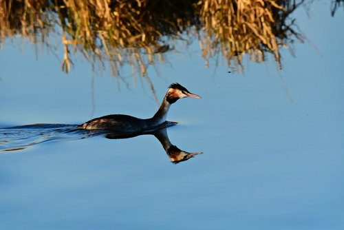 great crested grebe  water bird  animal