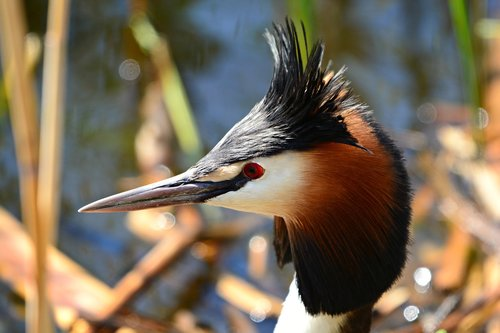 great crested grebe  water bird  animal