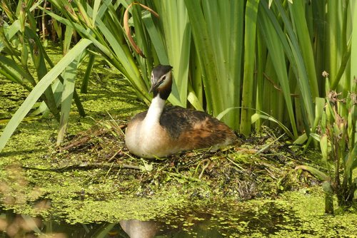 great crested grebe on the nest  hatch  spring