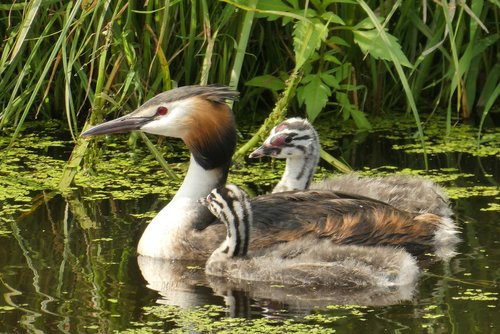 great crested grebe with young boy  water birds  boy