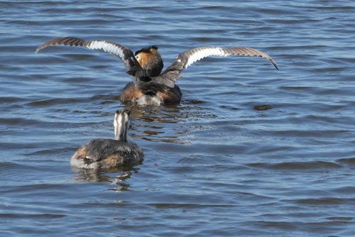 great crested grebe with young boy  ditch  spring