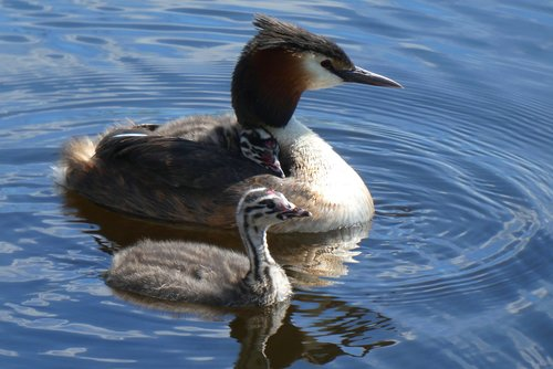 great crested grebe with young great crested grebe  chicks  great crested grebe