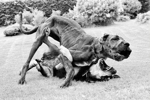 great dane judo match