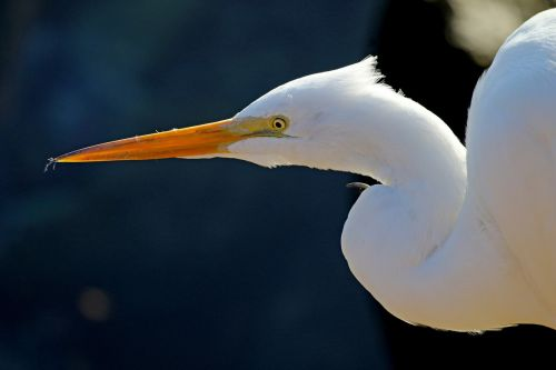 great egret waterfowl bird